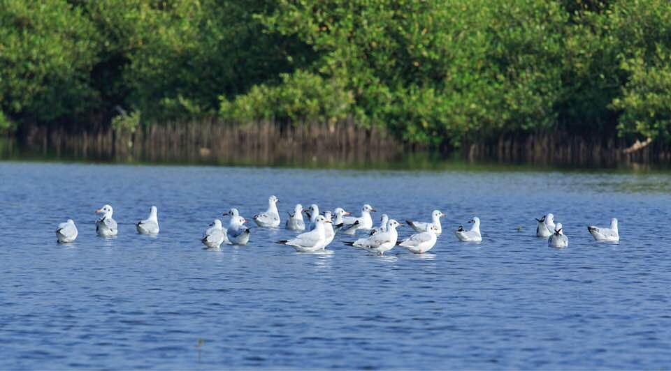 Mangrove Forest Kingfisher Sandpipers Grey Horons