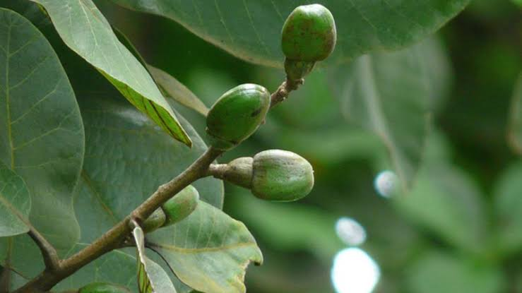 Ramapatre Jaddi Endangered plant species Sirsi Uttara Kannada