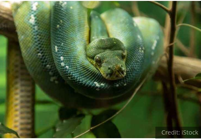 Snake island Brazil Golden lanceheads snakes Deadly snakes